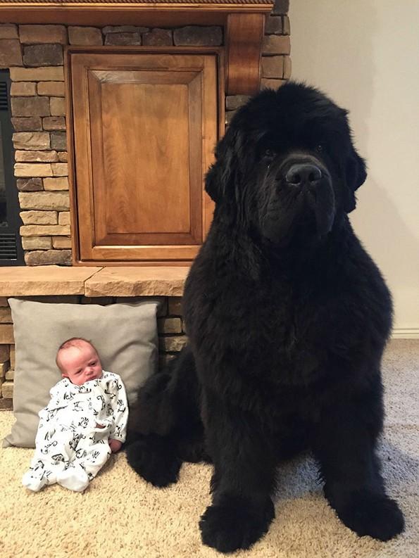 Фотографии што покажуваат колку всушност се големи кучињата њуфаундленд