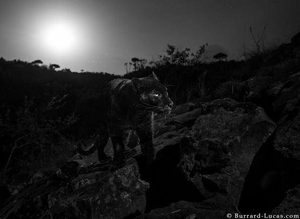 Фотографиран е црн леопард од Африка за прв пат по 100 години