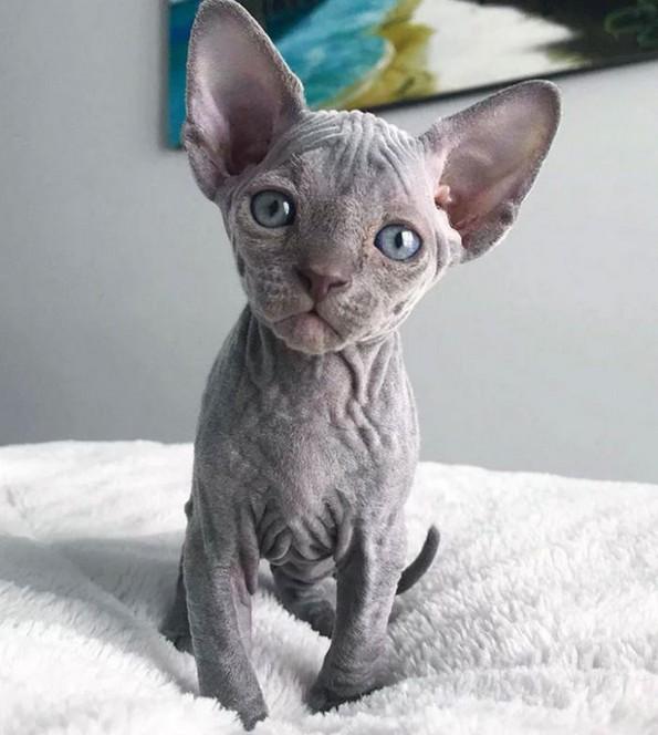 Слатки фотографии од сфинкс мачки што ќе ви го сменат мислењето за нив