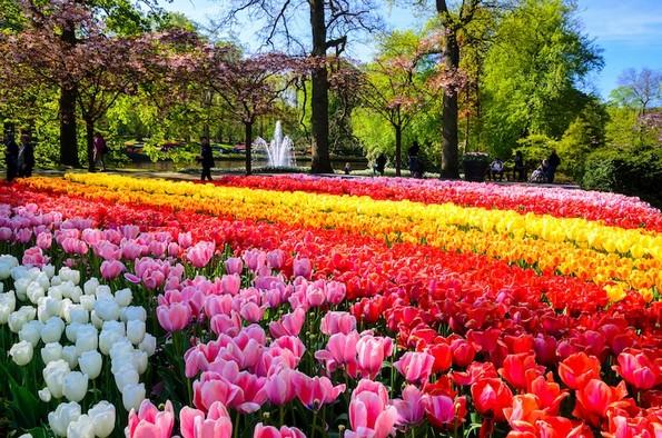 Погледнете ја најголемата градина во Холандија со над 7 милиони шарени цветови