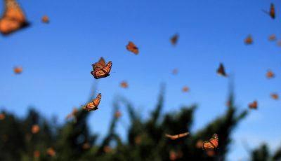 Што значи ако често гледате пеперутки?