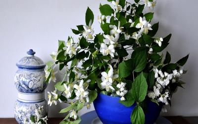 (1) rastenie-jasmin-pomaga-pri-ankcioznos-panichni-napadi-i-depresija