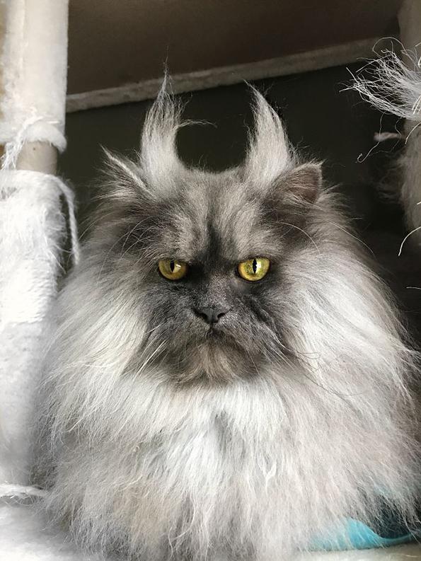 Запознајте го Џуно, мачорот со најубави фризури