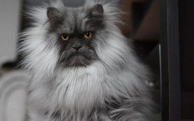 Запознајте го Џино, мачорот со најубави фризури