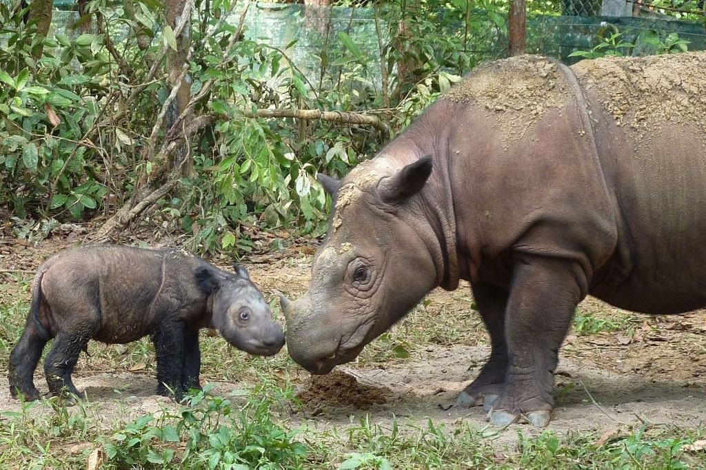 Јавански носорог
