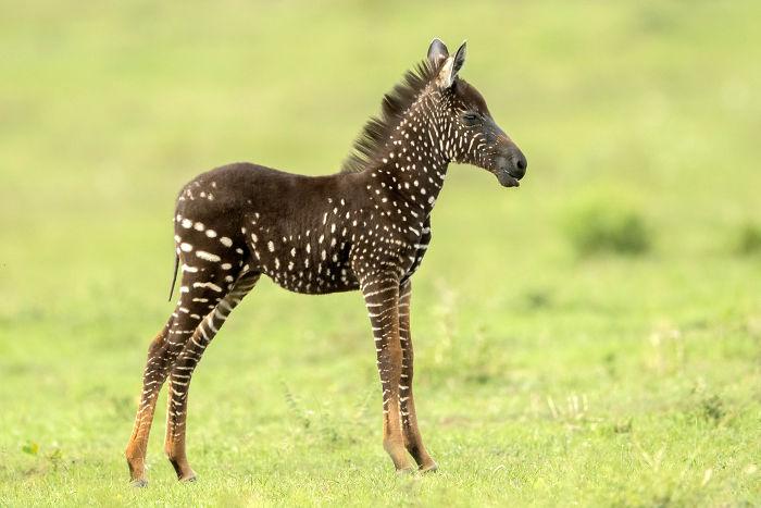 Ова бебе зебра е родено со точки по телото наместо со линии