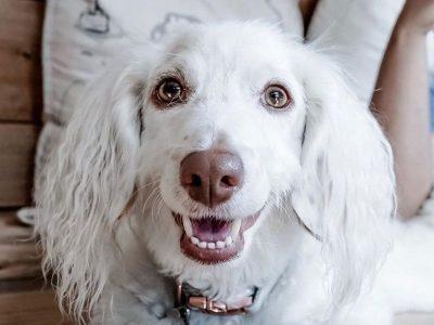 Кучето Џаспер ќе ве освои за миг: Само погледнете го овој снежнобел весел лик!