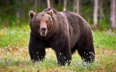 """Оваа мечка го бира само најдоброто: Јаде единствено """"пино ноар""""! (Видео)"""