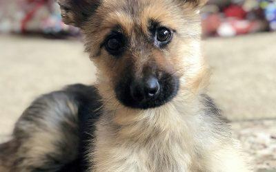 Овој двегодишен германски овчар секогаш ќе изгледа како мало кученце