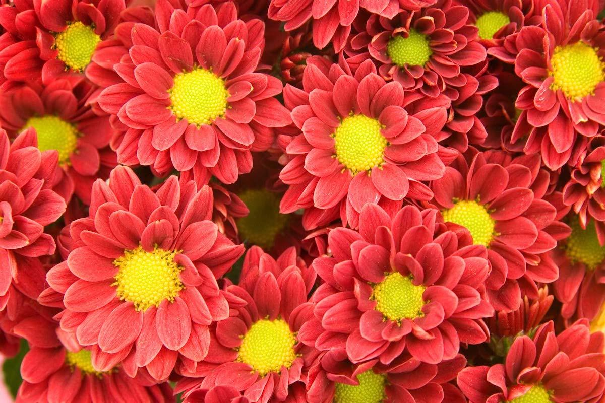 Нежни и раскошни: Знаете ли зошто носиме хризантеми на гробовите на нашите сакани?