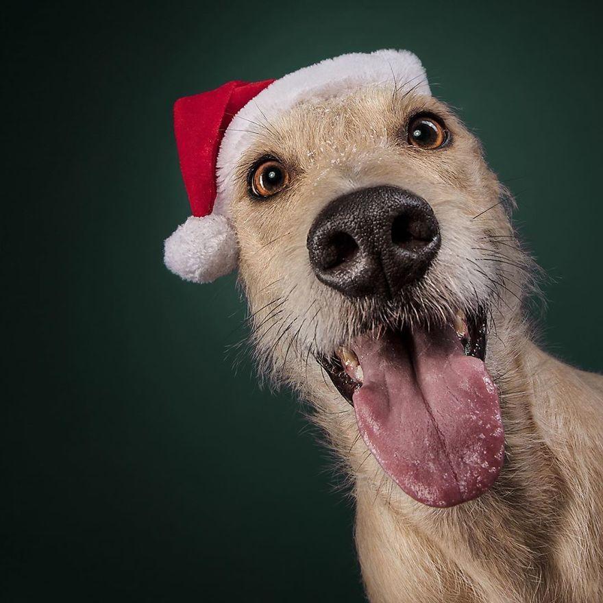 19 празнични фотографии од кучиња што се подготвени за Божиќ