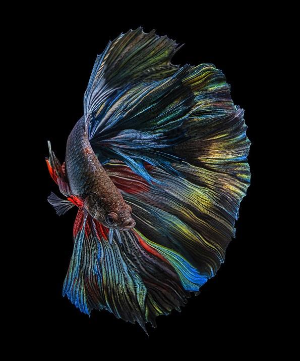 22 живописни и смирувачки фотографии со бета риби