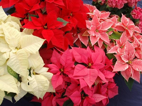 Розова Божиќна ѕвезда: празнична убавица еднаква на црвената