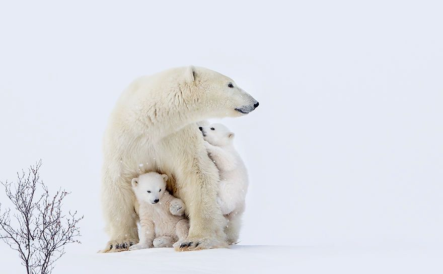 Фотографии од поларни мечки направени во дивина
