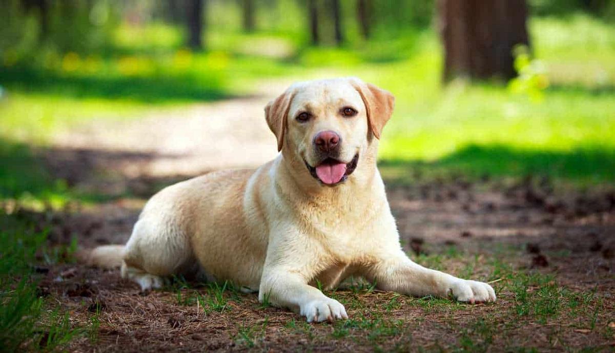 На кој начин кучињата помошници за дијабетичари ве предупредуваат при промена на вашата гликемија?