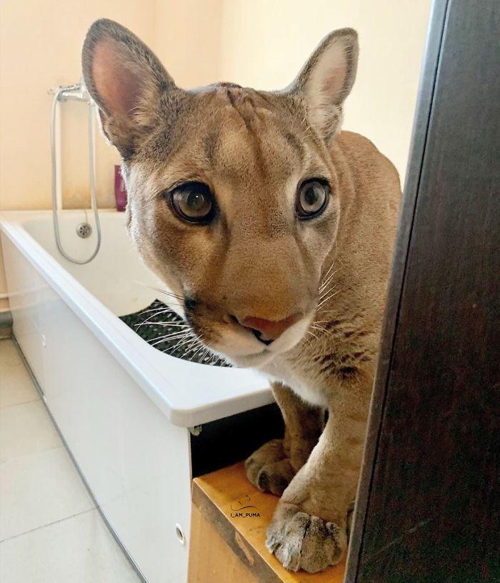 Спасена пума го живее својот најдобар живот како разгалена домашна мачка