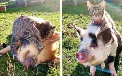 """Запознајте се со Ернест, мачорот кој живее на фарма во Висконсин и сака да ги масира своите """"крзнени пријатели"""""""