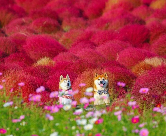 Ова куче е најголемиот обожавател на цвеќиња во Јапонија
