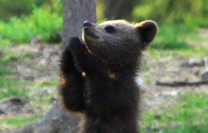 """Еден наставник случајно наишол на мечиња """"кои танцуваат"""" додека се шетал во шума во Финска, па се вчудовидел од неверојатната глетка"""