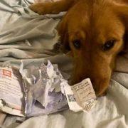 Едно куче направило штета, а потоа увиделе дека всушност ѝ го спасил животот на неговата сопственичка