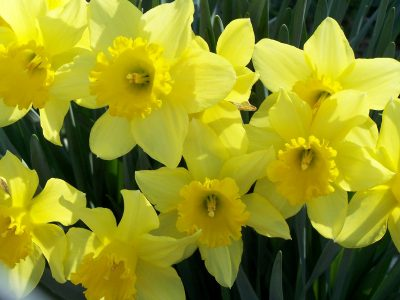 Нарцис: 7 карактеристики на нежниот цвет посилен од снегот
