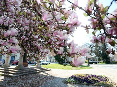 Прекрасната магнолија: Најубавата цветна крошна која ќе ве остави без здив