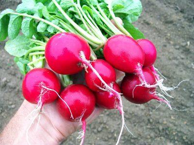 Сега е сезоната е ротквичките: Сè што треба да знаете за овој зеленчук кој освежува