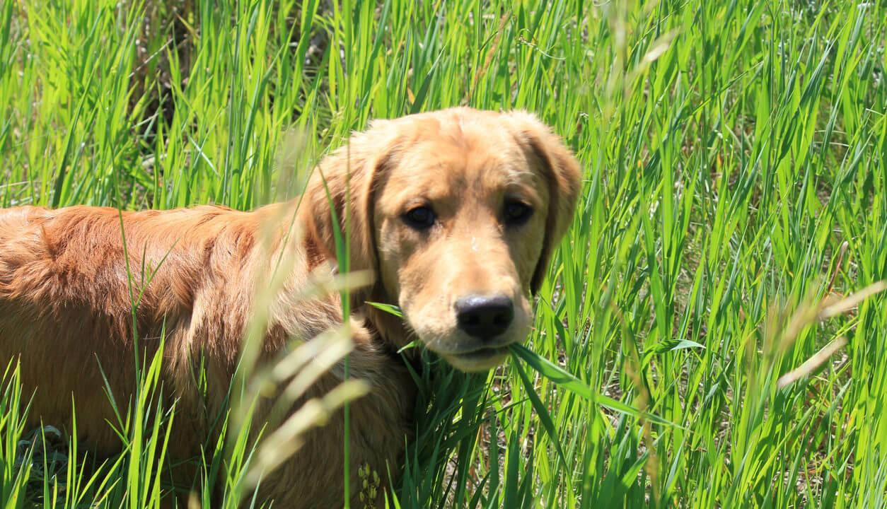 Зошто кучето јаде трева? Има повеќе причини кои можеби укажуваат на болест