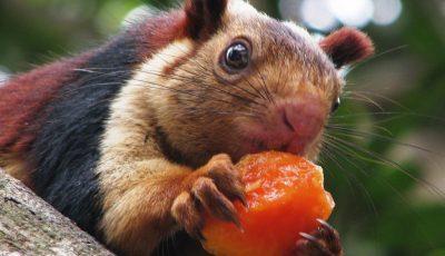 Џиновска верверичка е забележана во Индија: Толку е голема што ќе помислите дека го поминала летото кај баба