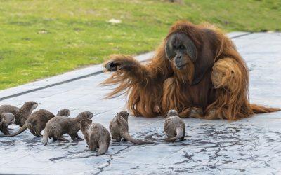 Орангутани изградиле посебна пријателска поврзаност со видри со кои заедно го поминуваат времето во зоолошка градина