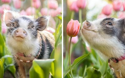 Погледнете ги овие прекрасни фотографии со розови лалиња и малечко слатко прасе