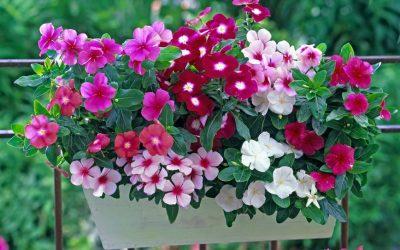 Петунија: Убавица на балконот која лесно се одгледува