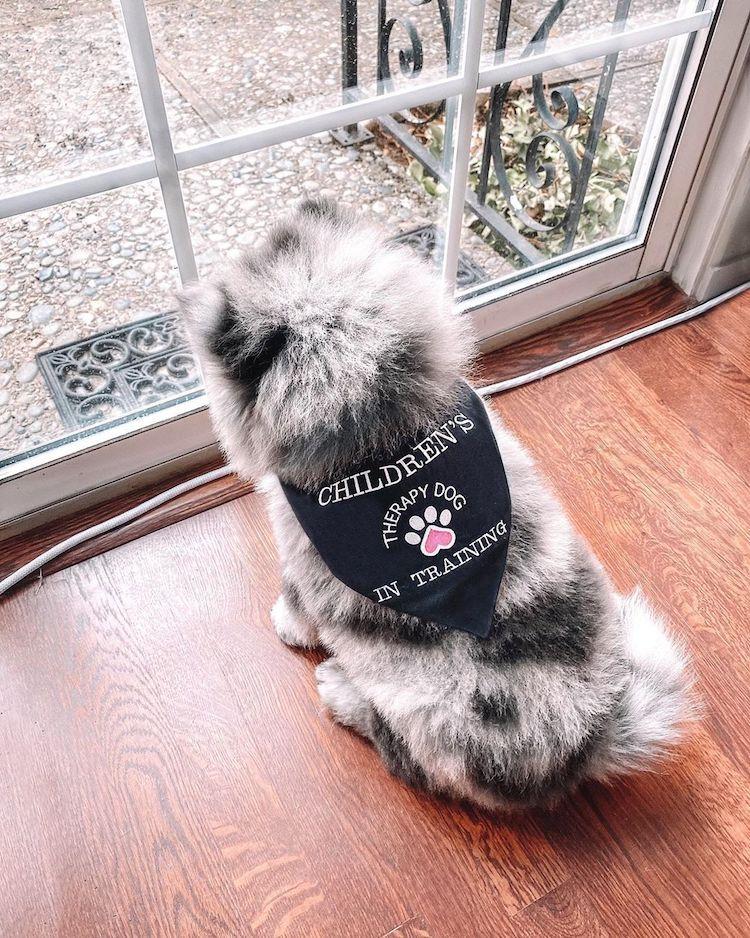Ова симпатично и меко кученце го нарекуваат орео облаче, а неговиот изглед открива зошто