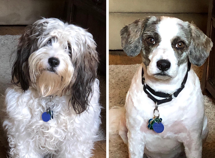 17 фотографии што покажуваат колку се менува изгледот на домашните миленици откако ќе ги однесете на фризер