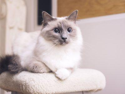 5 раси на мачки кои можат да помогнат во борбата против депресијата