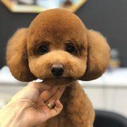 31 фотографија од кучиња што изгледаат непрепознатливо откако биле на фризер