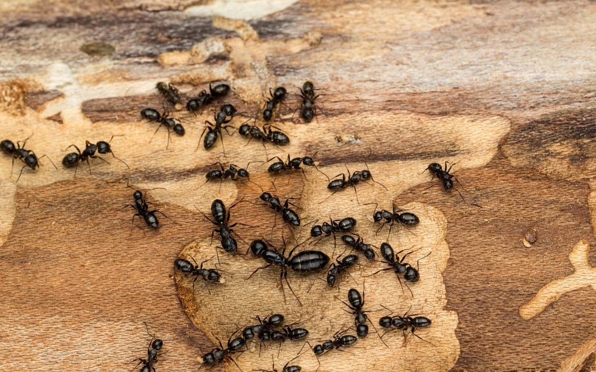 Како да се ослободите од мравките на природен начин?