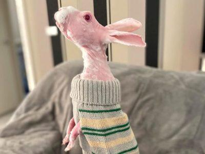 Зајак без крзно што бил спасен од еутаназија сега живее како ѕвезда на социјалните мрежи