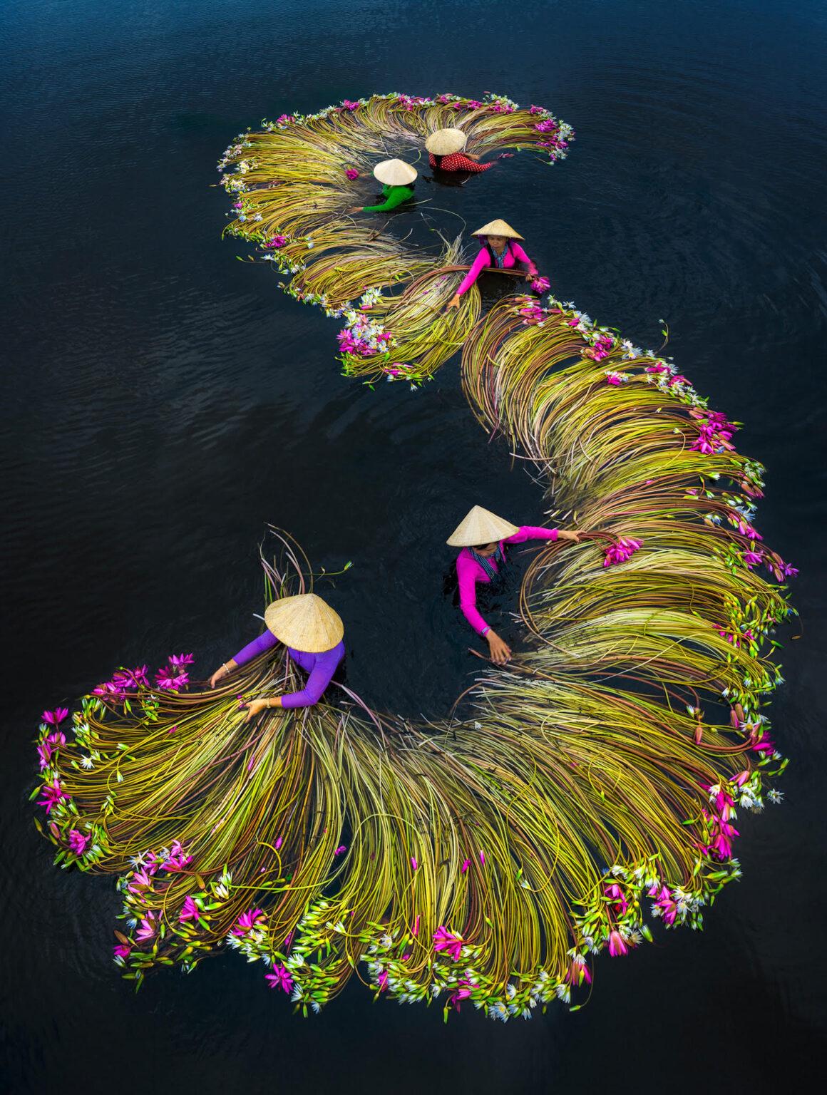 Локалното население во Виетнам секоја година ги собира водните лилјани од оризовите полиња, а еве и зошто