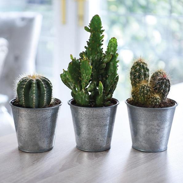 Носат среќа и благосостојба: Растенија што треба да ги имате во вашиот дом
