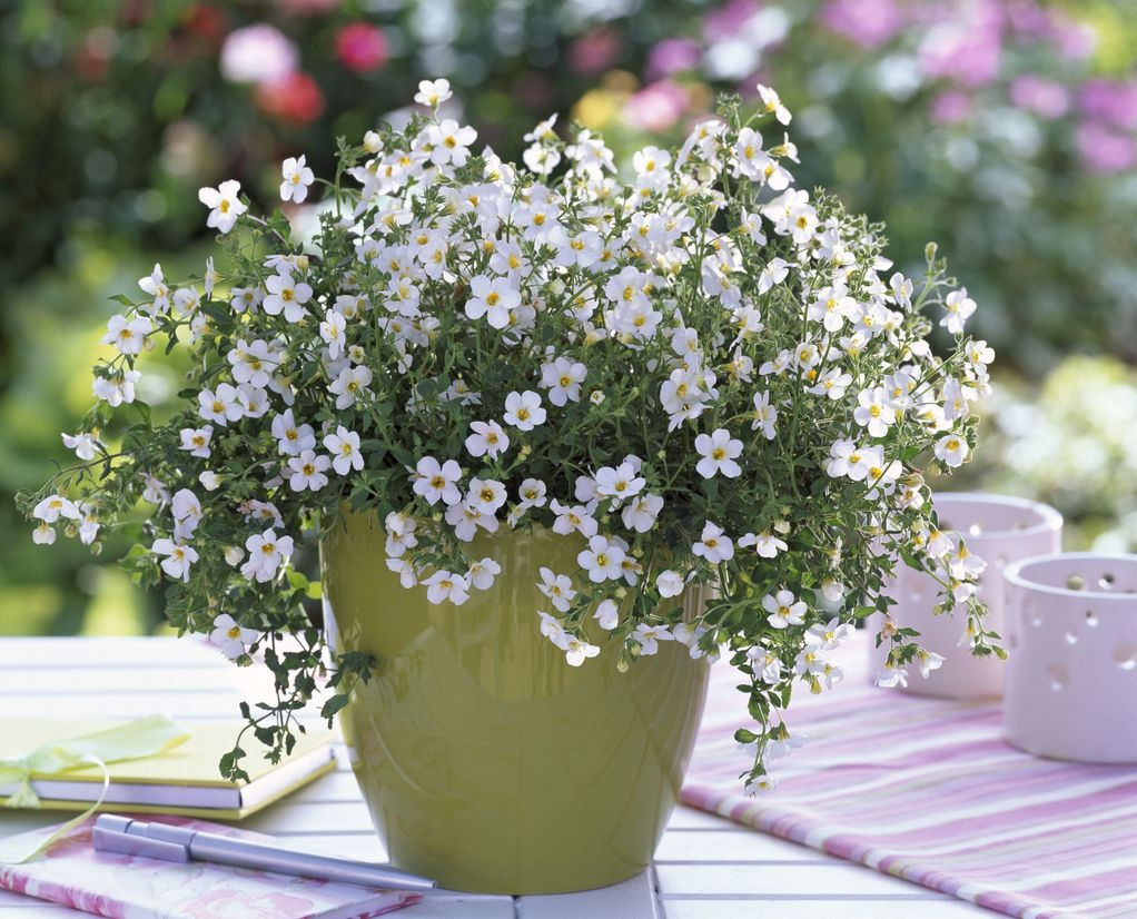 Бакопа - летно растение што ќе ве маѓепса со своите ситни цвеќиња