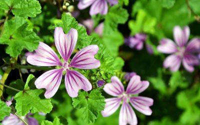 Чудесен лек од природата: Ова растение лекува многу болести