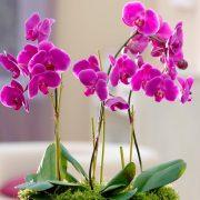 Како да го продолжите животот на орхидејата со помош на кора од банана?