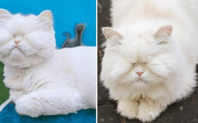 Персиска мачка која го изгубила видот поради занемарување била спасена и добила втора шанса за живот