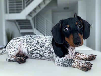 Запознајте го кучето Му: Јазовичар со тело на Далматинец