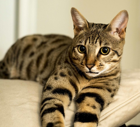 5 раси на мачки што живеат најдолго