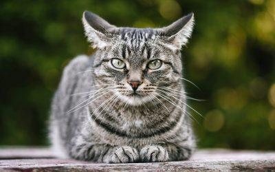 7 интересни факти за мустаќите на мачките