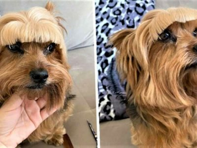 Една жена решила да му направи нова фризура на своето куче и сега навистина се кае