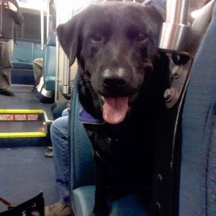Ова куче секојдневно само се качува во автобус за да отиде на прошетка во паркот