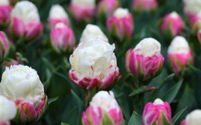 """Прекрасни """"сладолед"""" лалиња кои изгледаат како освежително слатко задоволство во розова чинија"""